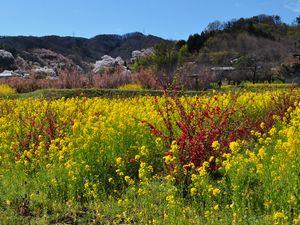 菜の花と桜 花見山公園