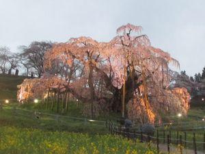 ライトアップ 三春滝桜