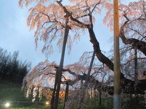 ライトと三春滝桜