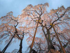 支柱で支えるライトアップの三春滝桜