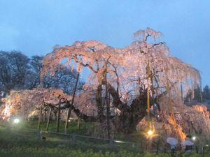 ライトに浮かび上がる三春滝桜