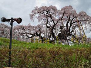 ライトと三春滝桜(昼頃)