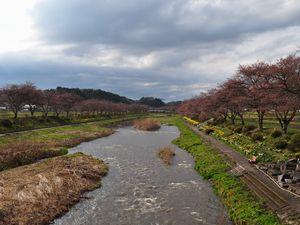 夏井川両岸の桜 夏井千本桜