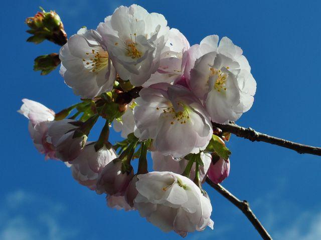 桜 花見山公園