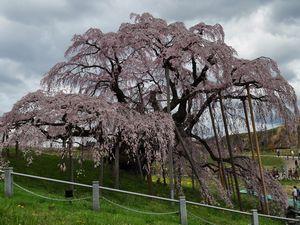 三春滝桜 雲