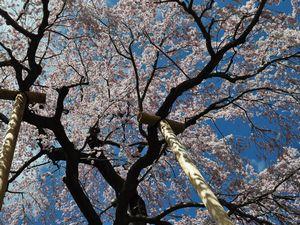 木で支える三春滝桜
