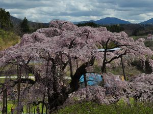三春滝桜と山