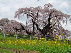 三春滝桜と菜の花