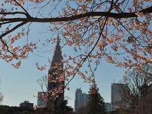 桜(ソメイヨシノ)と新宿の高層ビル