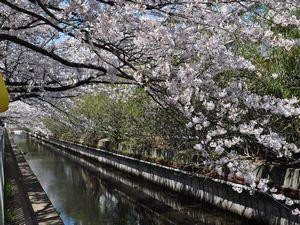 桜  仙台堀川公園