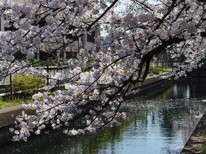 水面にのびる桜