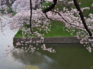 桜 千鳥ヶ淵公園