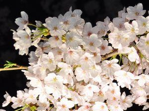 ライトアップのソメイヨシノの花
