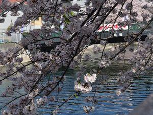 桜 大横川(石島橋)