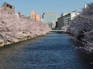 大横川両岸の桜