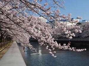 桜と大横川