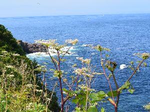 エゾニュウ 恵山岬