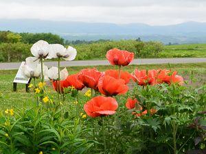 ケシの花 レークヒル ファーム