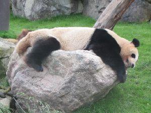 石の上 パンダ