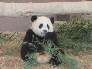 パンダ 笹を食べる