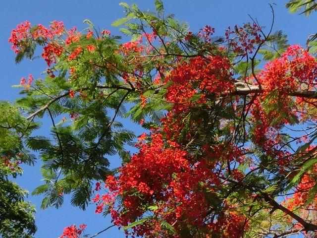 火炎樹 ヌメア