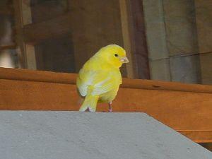 黄色の小鳥 ワイパラ ヒルズ